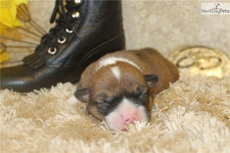 Corgi puppy for sale near In Sweden
