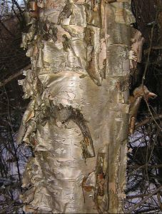 I did not know all of these uses of Birch.