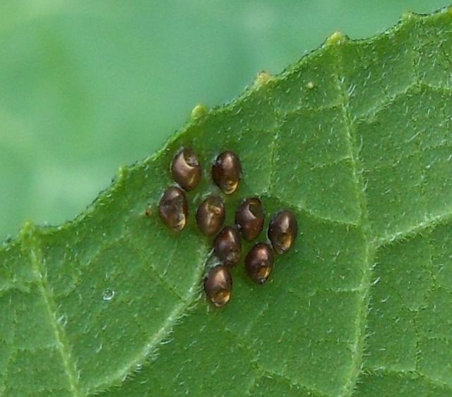 Squash bug eggs: video showing how soapy water can cover their exoskeleton and smother the adults