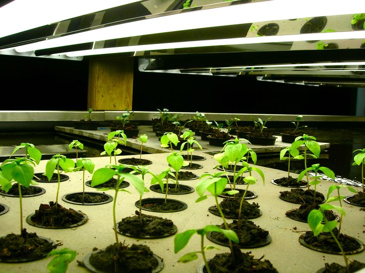17 best images about aquaponics on pinterest gardens for Hydroponics fish tank