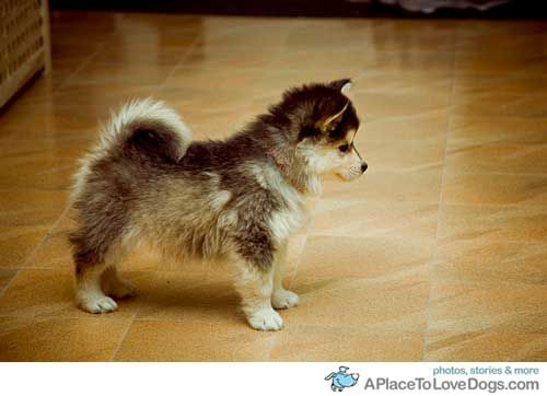 The Alaskan Klee Kai is a northern breed of dog of spitz type the breed was developed to create a companion sized version of the Alaskan Husky resulting in an energetic, intelligent, apartment-sized dog with an appearance that reflects its northern heritage. I WANT ONE so bad!