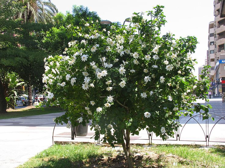 gardenia thunbergia - Google Search