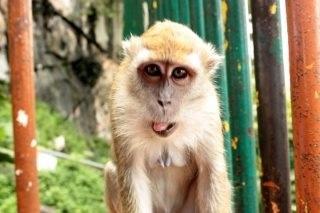 Malaysia @monkey