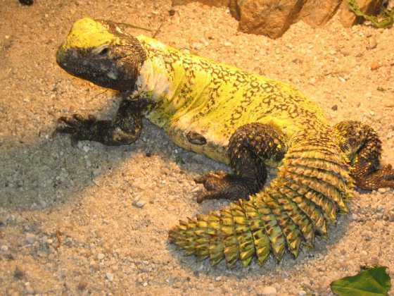 Giant Uromastyx Images - Reverse Search