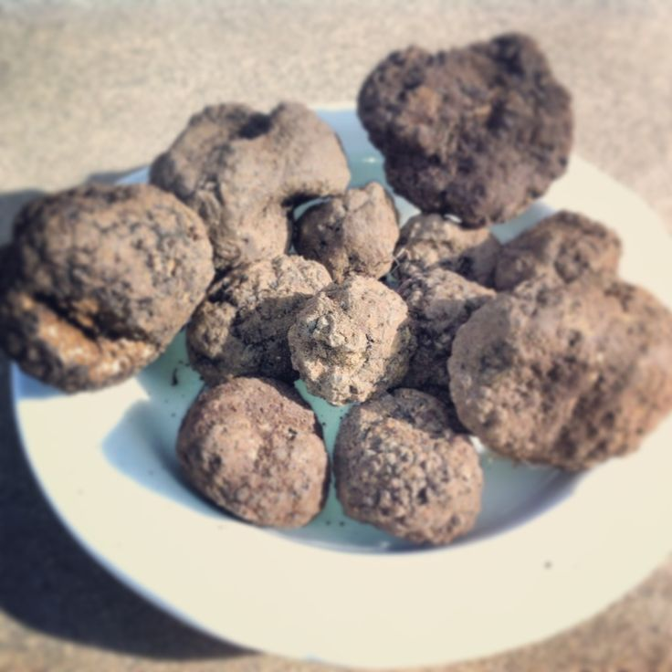 "È ""uncinato"", un tartufo nero molto profumato. Black truffles found by our truffle hunter"