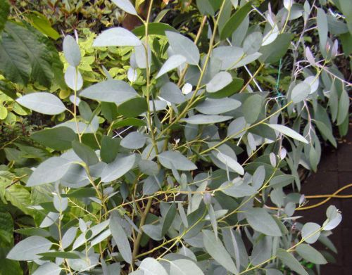 Eucalyptus archeri 2014