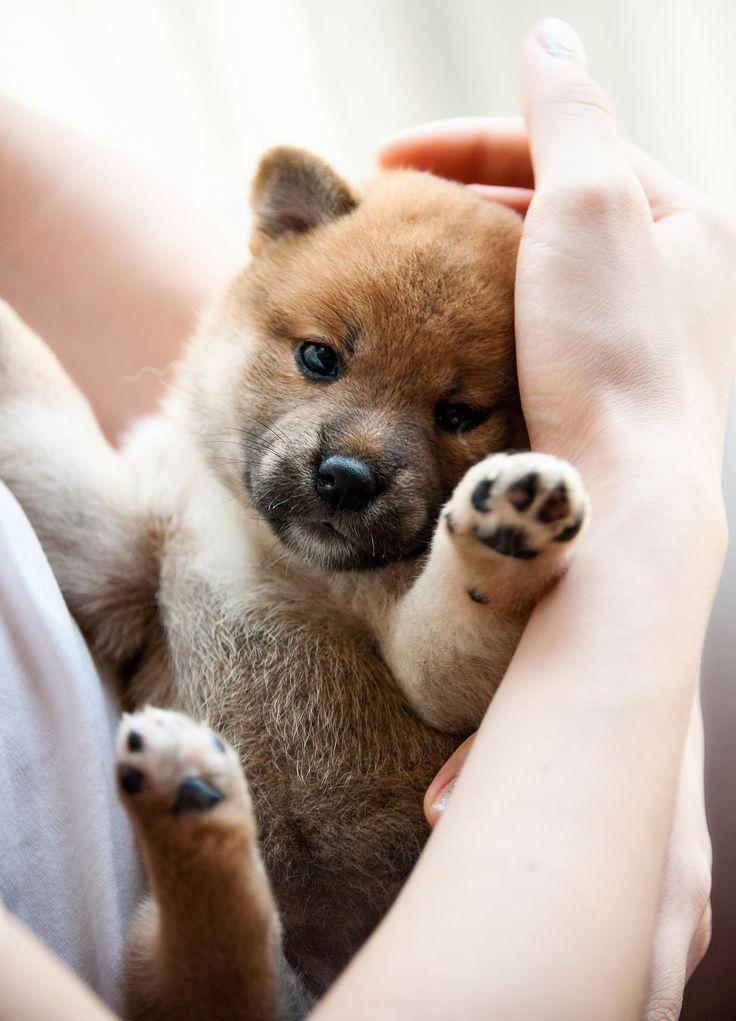 Shiba Inu puppy.