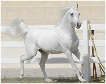 White arabian horse - photo#24