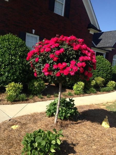 All the Gorgeous Color and Easy Care of the Knock - Rich blooms in abundance with no maintenance needed! Knock Out® Roses have set the standard for bloom color, size, and adaptability. Now, horticulturists have bred a tree with the same characteristics! The Knock Out® Rose Tree has raised the bar for disease resistance, and is as...
