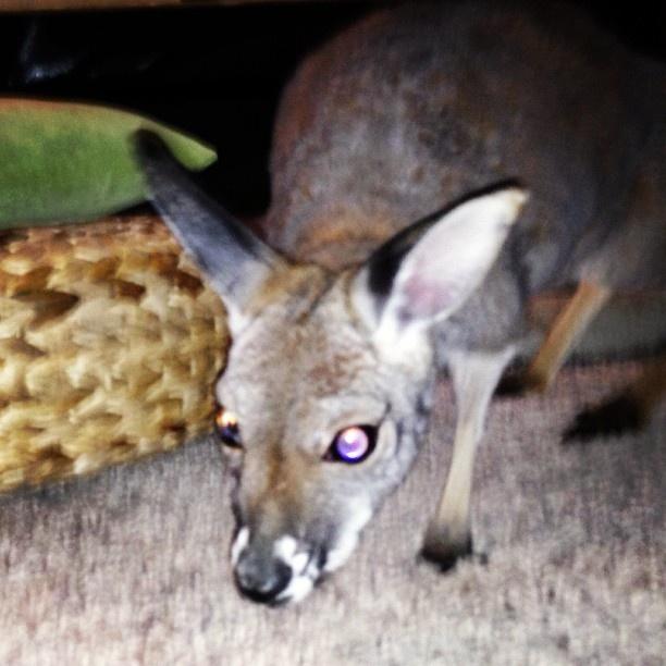 "@bearseatcheese's photo: ""#dorothy #kangaroo #bzoo #bzp #cute #myplace"""