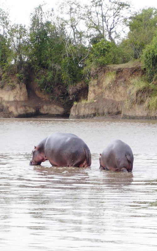 Nos los presentaban como amistosos en las series infantiles pero... ¡los hipopótamos son muy peligrosos! Organiza tu safari a Kenya con los mejores consejos de viaje en www.espressofiorentino.com #Kenia #Animals #Animales #Salvajes