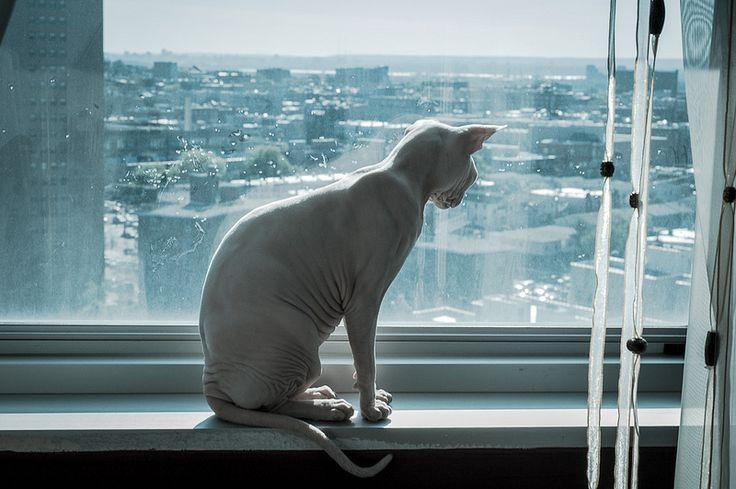 Кошка породы канадский сфинкс. Красивое художественное фото