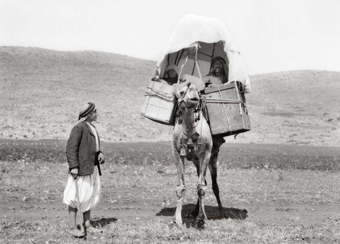 Верблюды перевозили людей и грузы на значительные расстояния.