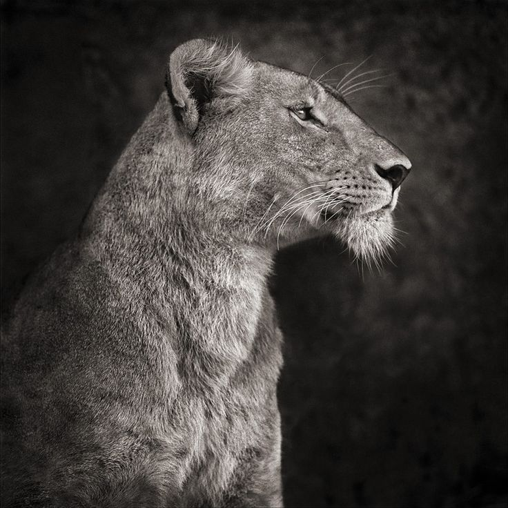 Best Oroszlánok Images On Pinterest Animals Big Cats And King - Captivating black and white animal portraits by antti viitala