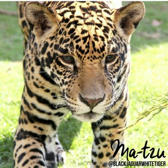 Ma-tzu / Black Jaguar White Tiger Foundation | Animals ... - photo#12