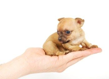 Weaning a Chihuahua Puppy | The Chihuahua Information Center