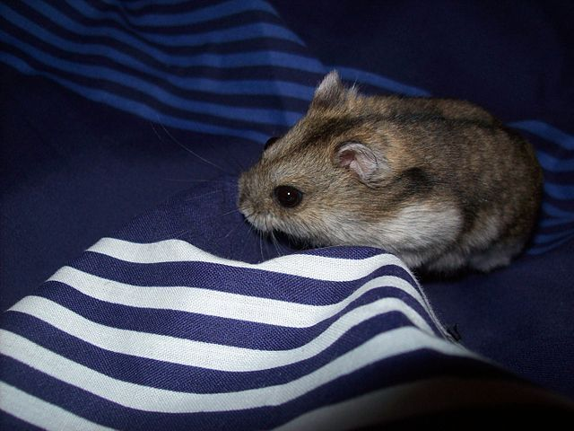 What is a Siberian Dwarf Hamster? - Dwarf Hamster Blog