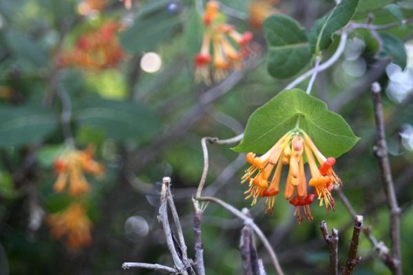 Make a honeysuckle glycerite to treat sore throats, hot flashes and more.