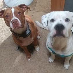 Pictures of Spot a American Bulldog for adoption in Weatherford, TX who needs a loving home.