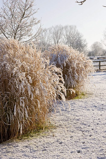 Miscanthus (Maiden Grass) Is A Great Winter Plant. The Wheat Color That  Lasts Through Winter Is A Striking Contrast To The Bright Whites And Deep  Greens.