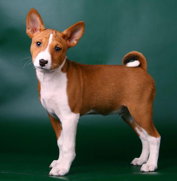 Basenji | basenji3.jpg - Basenji - Dog Breeds