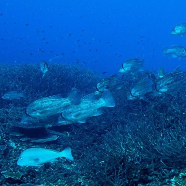 #13 #dhu #fish #abrolhosislands #islands #ocean #oceanupdates #diving #digitalocean #westcoast by digitalocean