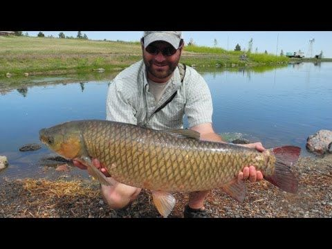 Learn how to tie Grass Carp flies & watch Fly Fishing in action, Colorado! Check out our other videos at: http://howtocarpfishing.com