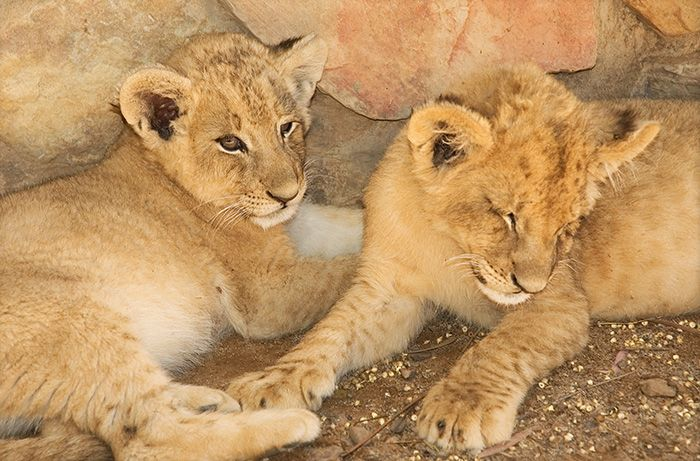Cubs at Aquila Private Game Reserve