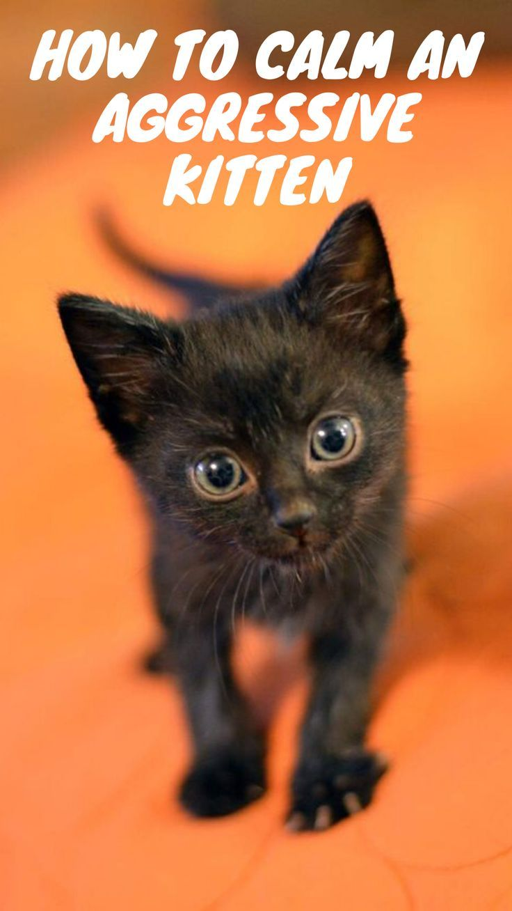 How To Calm An Aggressive Kitten In 2020 Cats Cat Training Kitten
