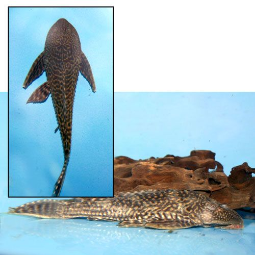 Trinidad/Common Pleco - Hypostomus plecostomus