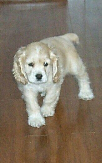 12946 best cute dog 39 s images on pinterest english cocker - Free cocker spaniel screensavers ...