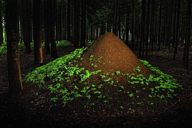 Animal Architects/ European Red Wood Ants: Build their anthills in huge mounds on forest floors. The colony will often build several mounds, interconnected with the main hill, and would move to the adjacent mounds if the main one is damaged beyond repair.