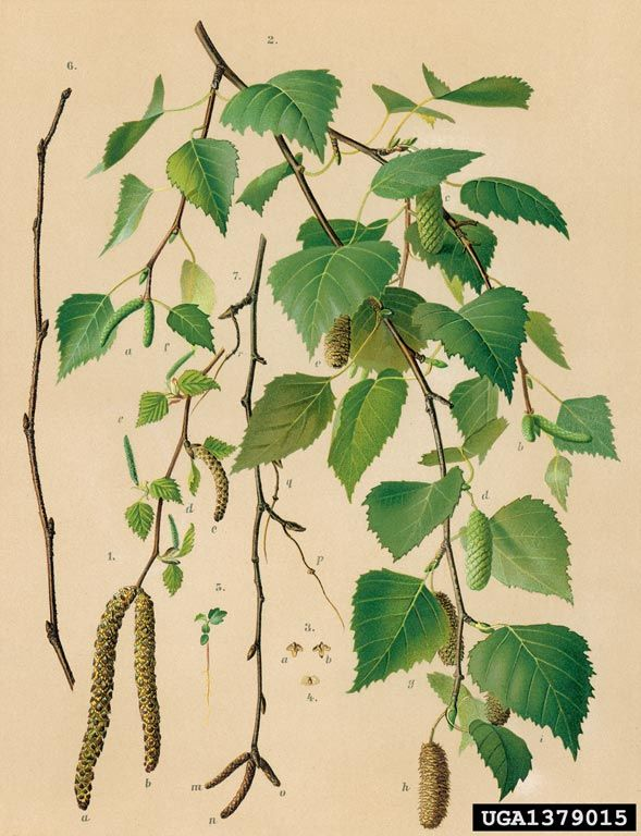 Bříza bělokorá (Betula Linné)