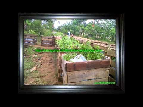 Bibit gaharu | Agarwood aquilaria malaccensis Balangan 081251826868