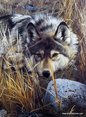 Carl Brenders' print ONE TO ONE is a striking image of a lone wolf at rest but…