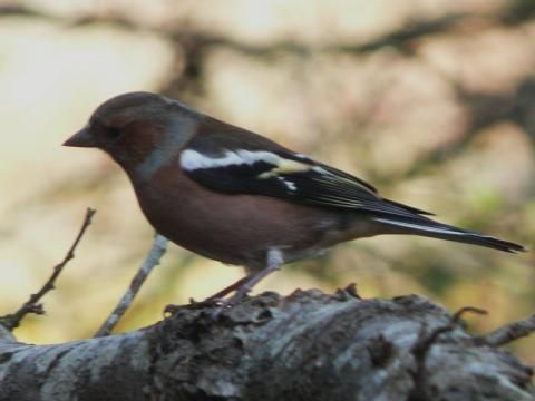 Chaffinch: feet firmly on the ground | Nature Notes