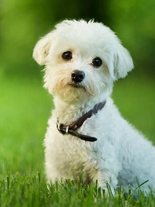 hund malteser klein