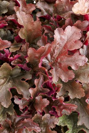 """Heuchera Dolce® 'Cinnamon Curls' - see it in a container in the next pin! A 2014 introduction from Proven Winners. This classic perennial heuchera has a neat, compact habit with bright magenta ruffled leaves. Works well in part sun-shade. Grows 8-12"""", flower height 18'. Leaves curl inwards"""