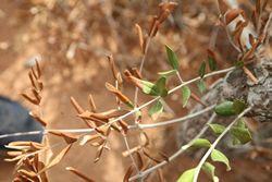 Un des symptômes de dépérissement lié à Xylella Fastidiosa