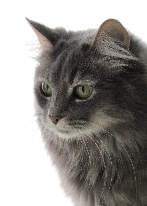 Turkish Angora, This looks like my wonderful cat Charlie, we used to have.