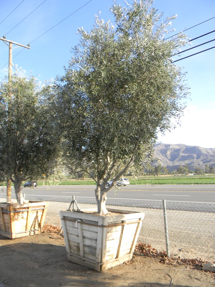 Wilsonii Fruitless Olive Tree 48 Quot Box Front Yard