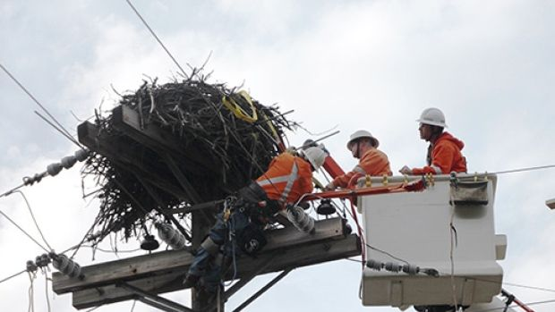A BC Hydro power line technician attaches a sling to an osprey nest in Revelstoke, B.C. while crew-mates look on.