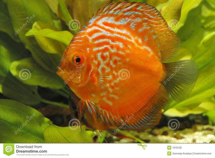 un pesce con delle alternanze di colore arancioni e bianche