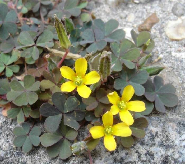 Жёлтые цветочки кислицы рожковой