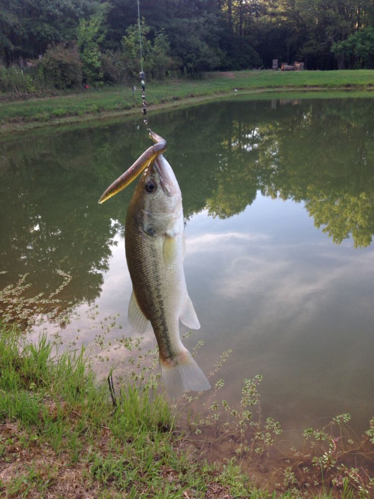 Wacky worm rig pond life pinterest rigs and worms for Pond bass fishing tips