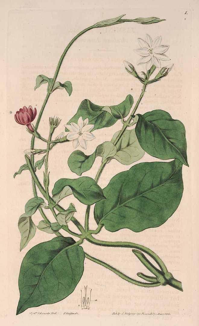 茉莉花(ジャスミン) Jasminum sambac (Arabian Jasmine)