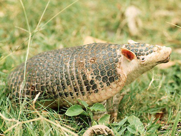 Giant Armadillo-Endangered animals list-Our endangered animals | KONICA MINOLTA