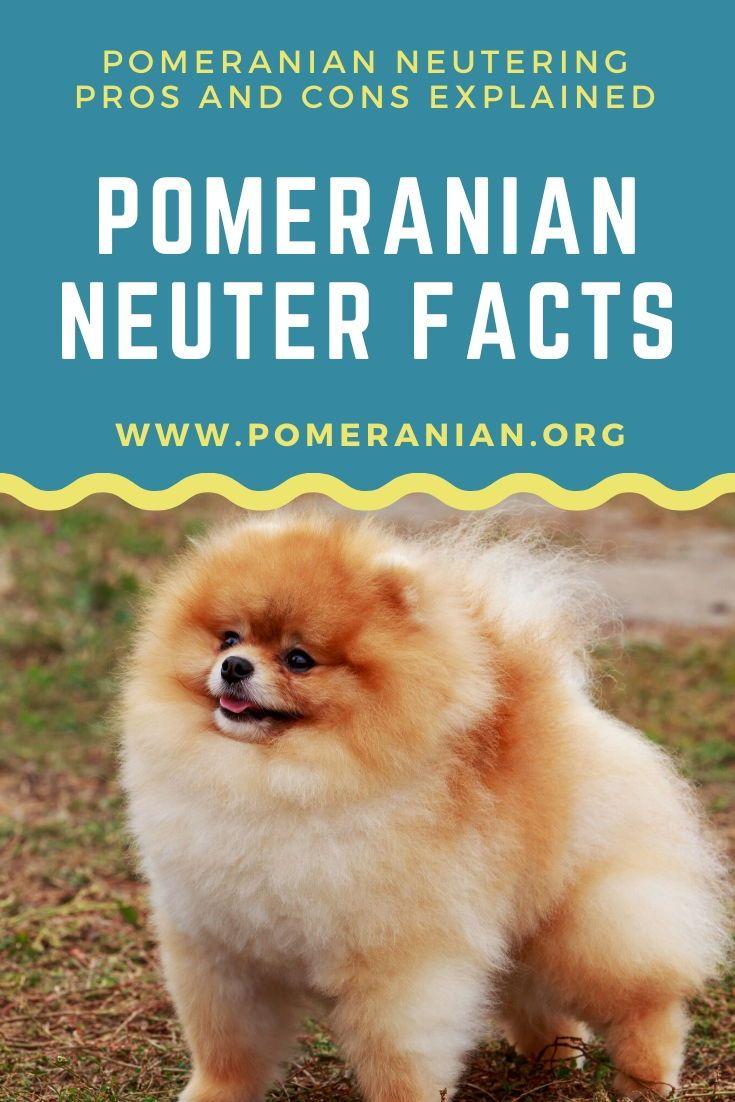 Pomeranian Neuter Facts In 2020 Pomeranian Puppy Dog Facts Pomeranian