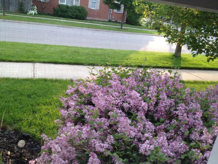 Love my lilacs.