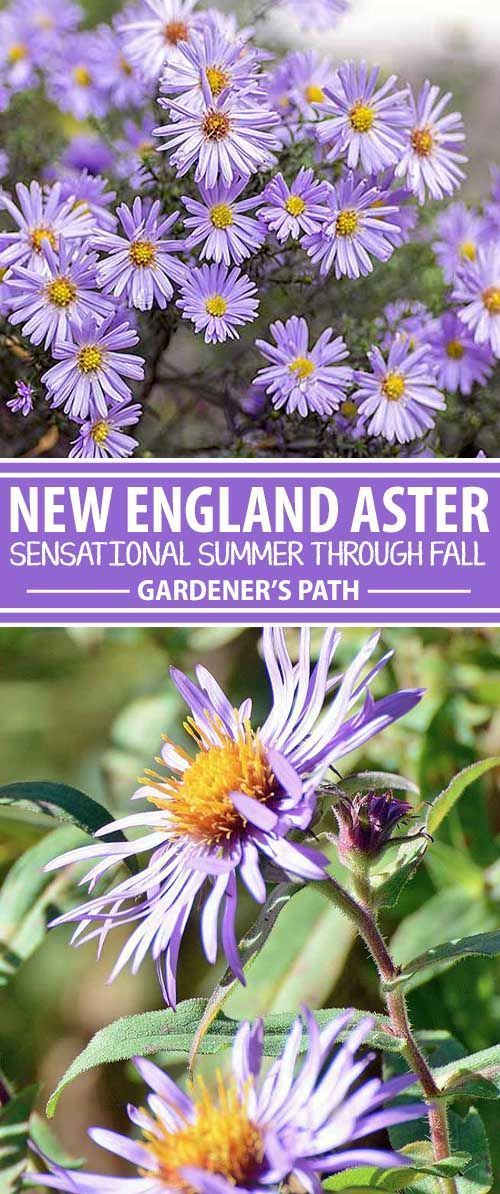 Say goodbye to blah autumn gardens, and hello to curb appeal, with a mass planting of cheerful New England aster. This bright purple flower is a favorite of butterflies and blooms until frost, returning vigorously each year. Learn all about this easy-to-g